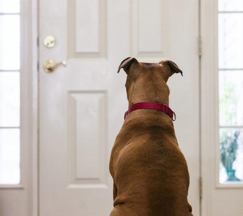Lonely Dog Waits For Owner By Door