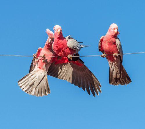 Australian Galahs On A Wire